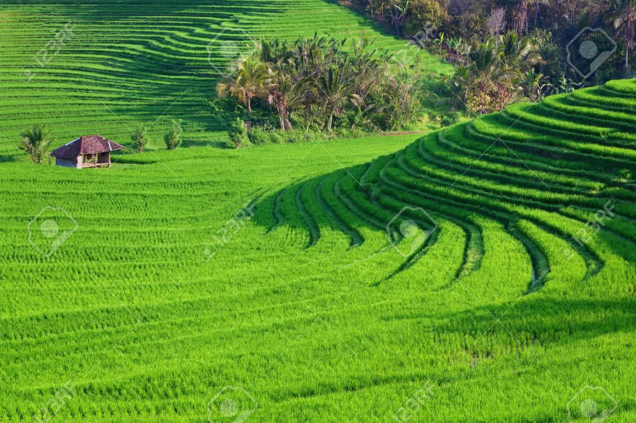Hermosa Vista Del Arroz Verde De Bali Que Crecen En Terrazas De Campo Tropicales Mejores Fondos Escénicos De Asia Y Paisajes La Gente La Cultura Y