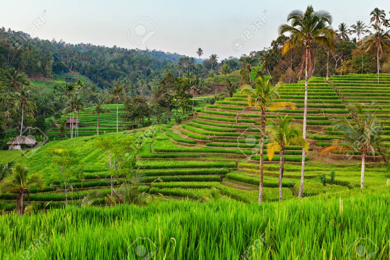 Beautiful view of Balinese green rice growing on tropical field terraces. Best scenic Asian backgrounds and landscapes, people culture and nature of Bali and Java islands, travel places in Indonesia - 72380068