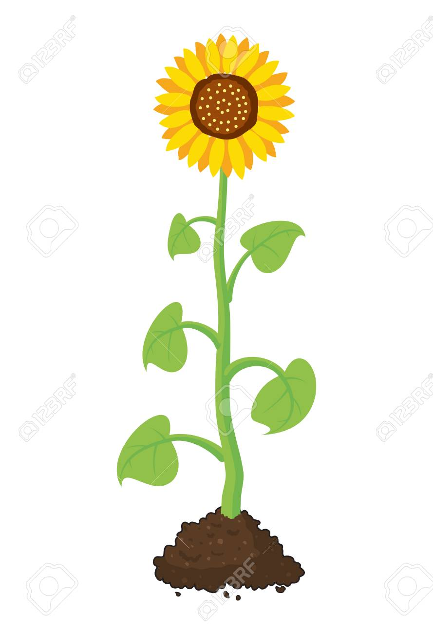 Vector Cartoon Of Garden Sunflower Grow In Soil Summer Agriculture Royalty Free Cliparts Vectors And Stock Illustration Image 89505436
