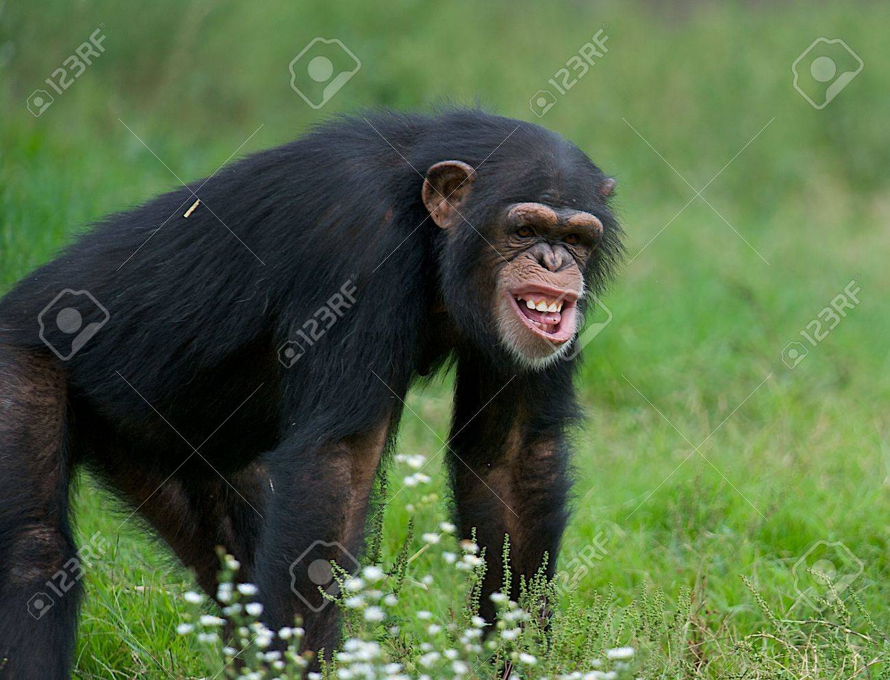 funny chimpanzee in the grass with a very strange expression stock