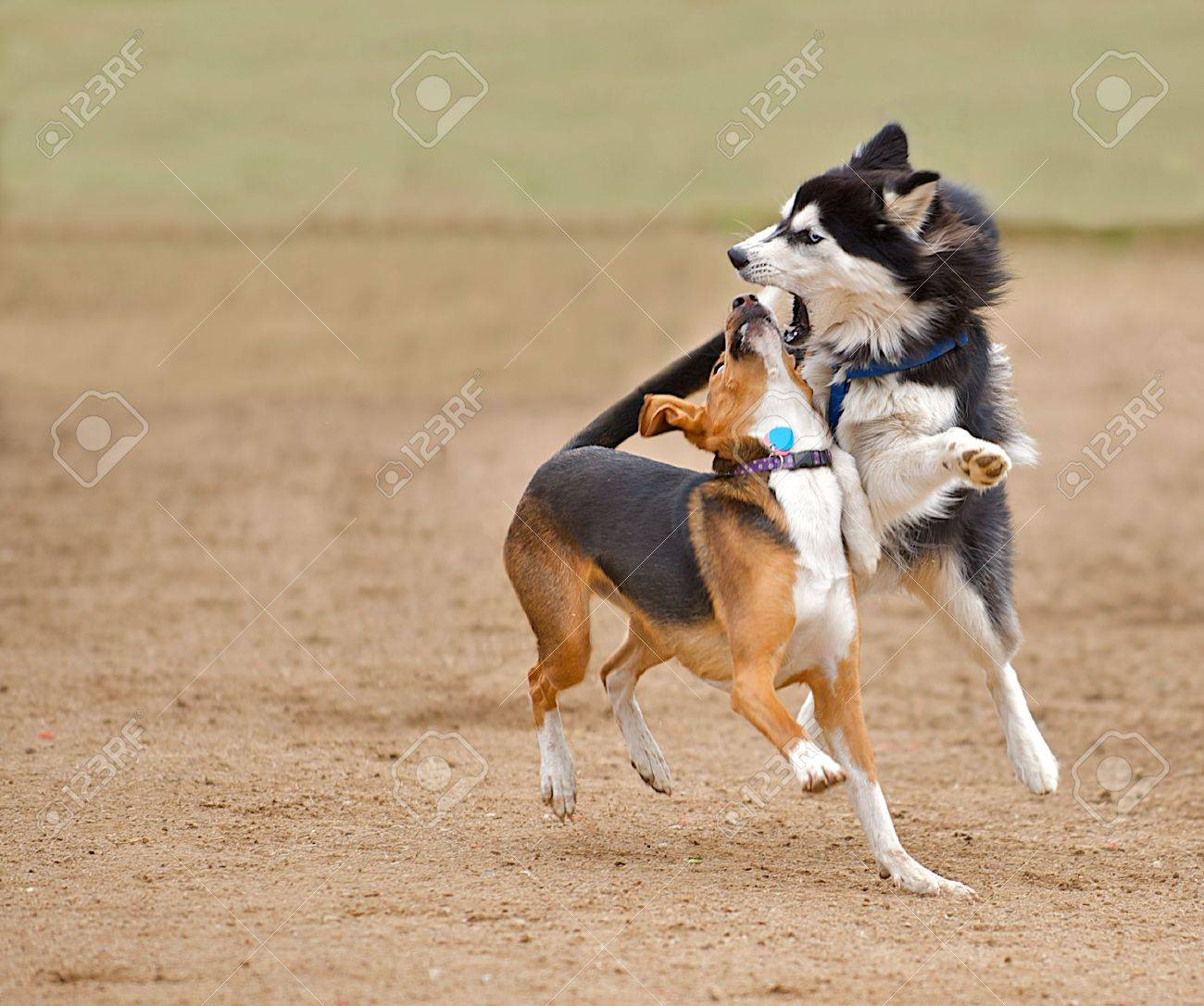 Siberian Husky play fighting with a beagle mix while running in the park. Stock Photo - 6253111