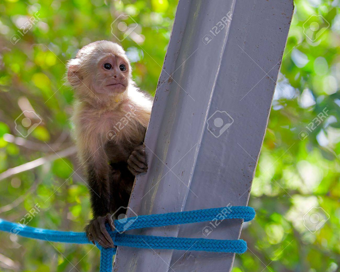 Young and curious white-faced capuchin monkey in the Palo Verde area of Costa Rica. Stock Photo - 7099351