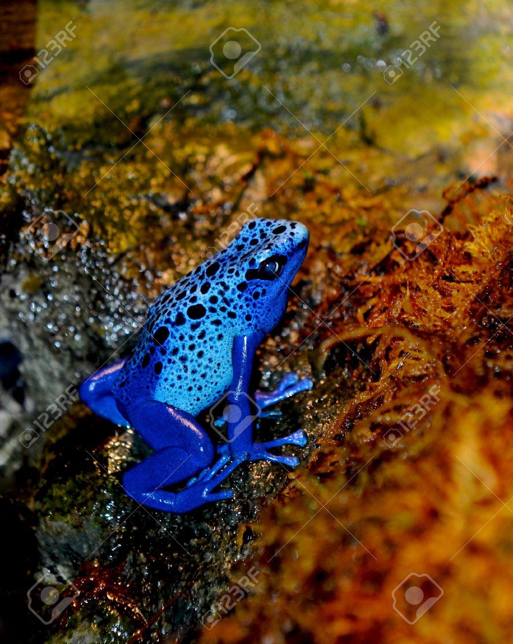 Blue Poison Dart Frog (Dendrobates azureus). Stock Photo - 12866582