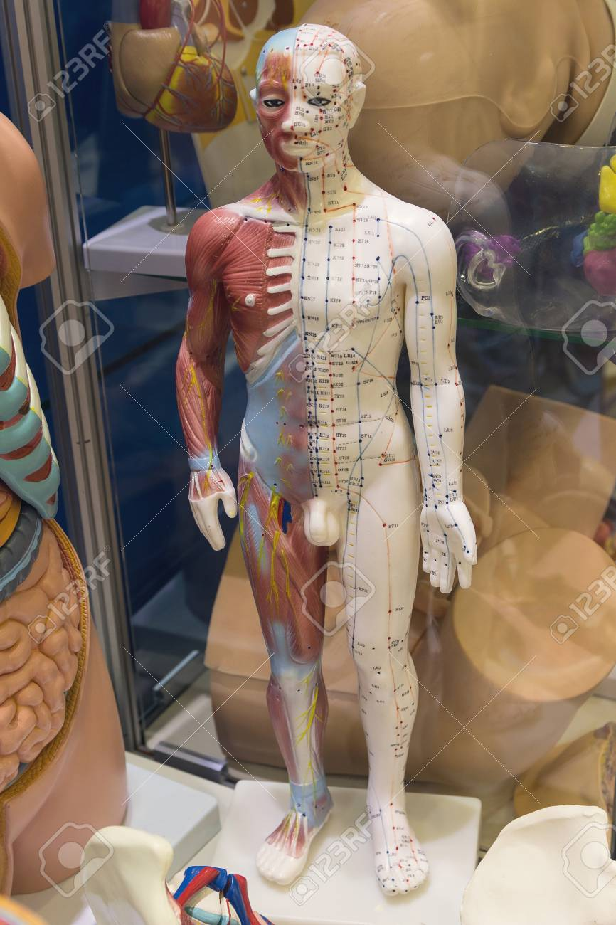 Dummy With The Image Internal A Human Organ For Studying Medicine