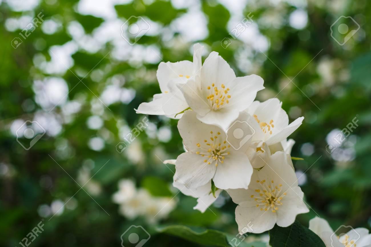 Jasmine white flowers and green leaves on bush in full blossom jasmine white flowers and green leaves on bush in full blossom at summer park floral izmirmasajfo