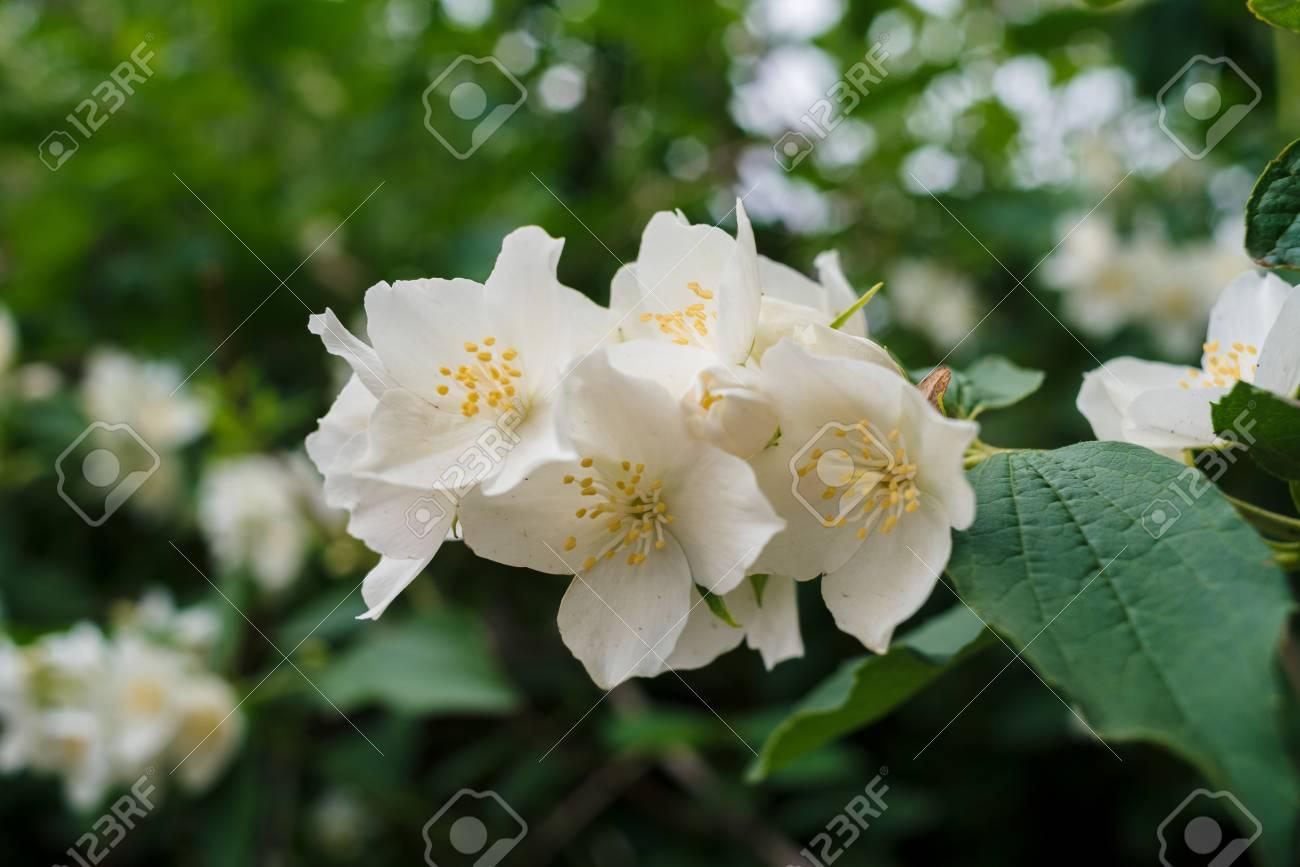 Jasmine white flowers and green leaves on bush in full blossom jasmine white flowers and green leaves on bush in full blossom at summer park floral izmirmasajfo Choice Image