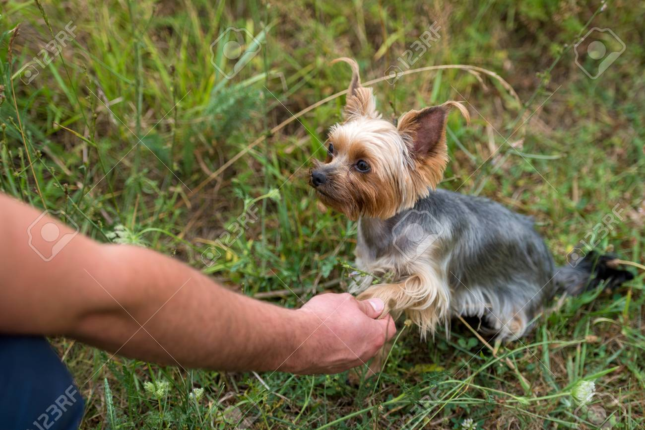 Cute small yorkshire terrier dog sitting on green grass and giving
