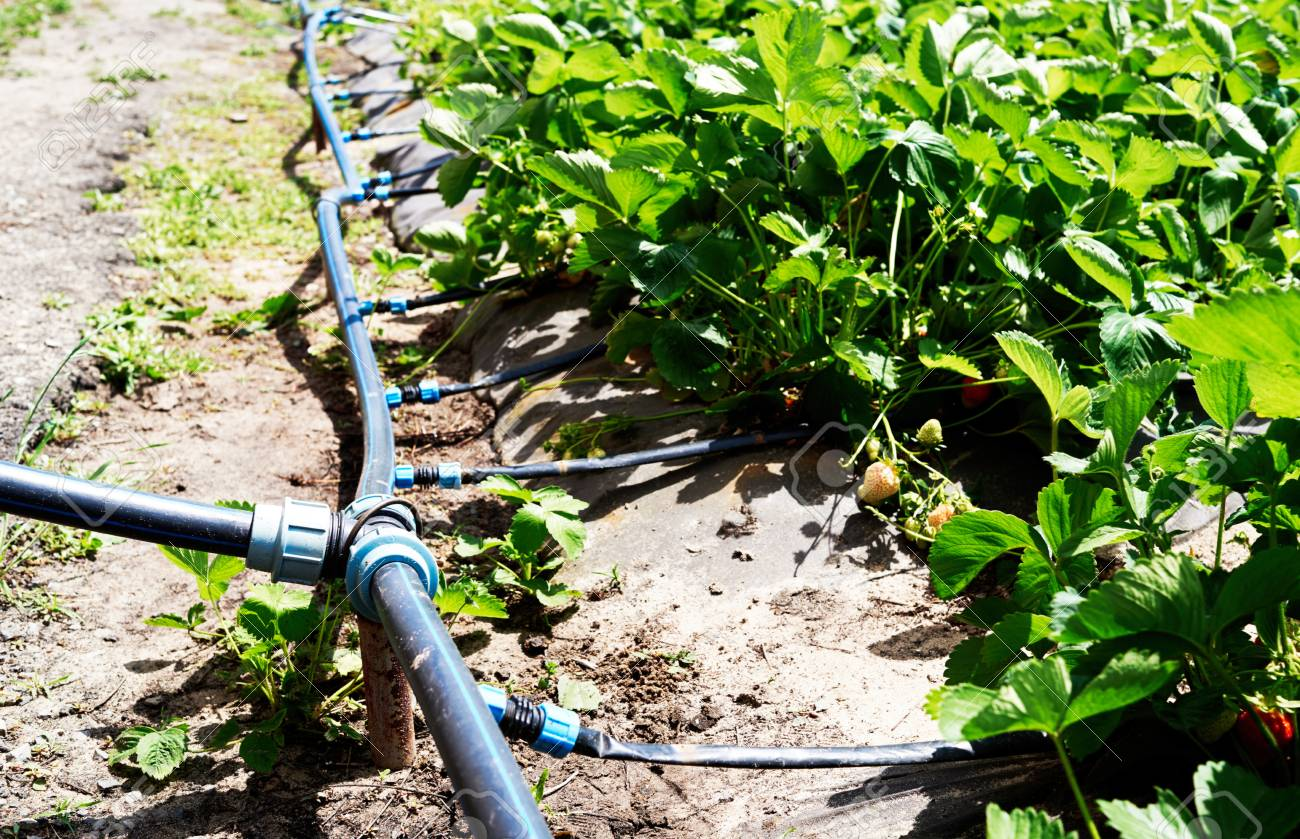 Drip irrigation system on strawberry filed in farm, close up