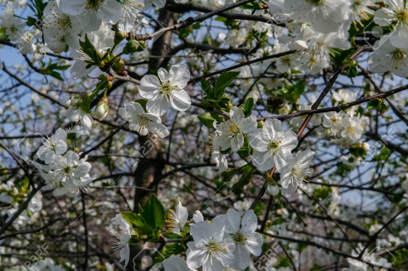 White flowers of sweet cherries in the spring garden zaporozhye stock photo white flowers of sweet cherries in the spring garden zaporozhye region ukraine may 2011 mightylinksfo