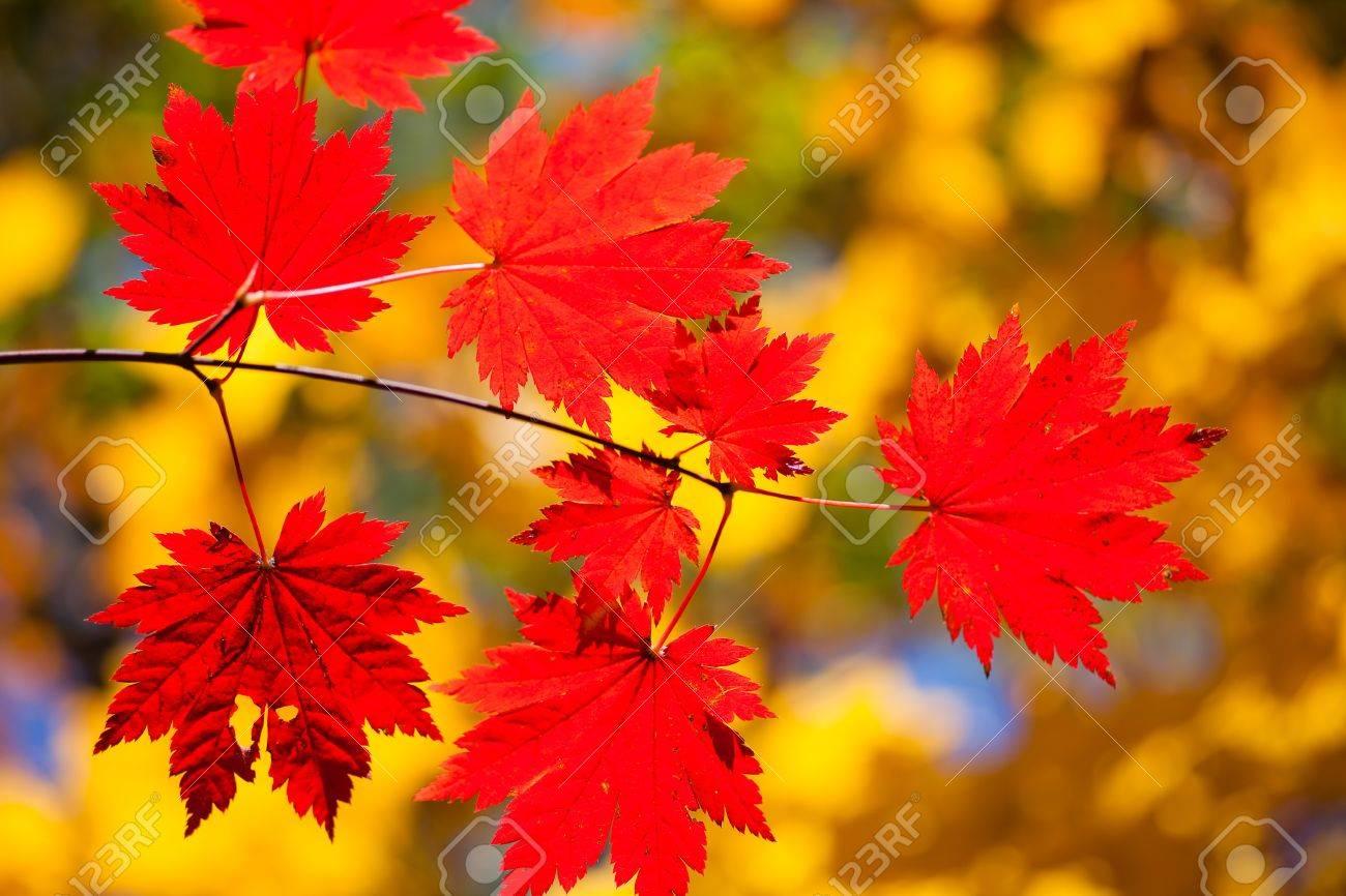 8693346-Paysage-d-automne-rable-de-couleur-Brillant-laisse-sur-les-branches-dans-la-for-t-d-automne--Banque-d'images