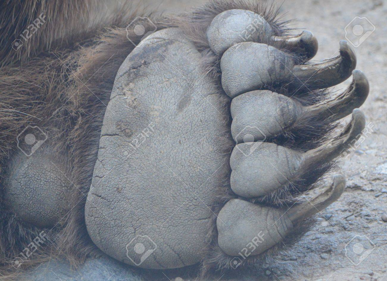 https://previews.123rf.com/images/dnabuckeye/dnabuckeye1609/dnabuckeye160900004/62118265-bear-paw.jpg