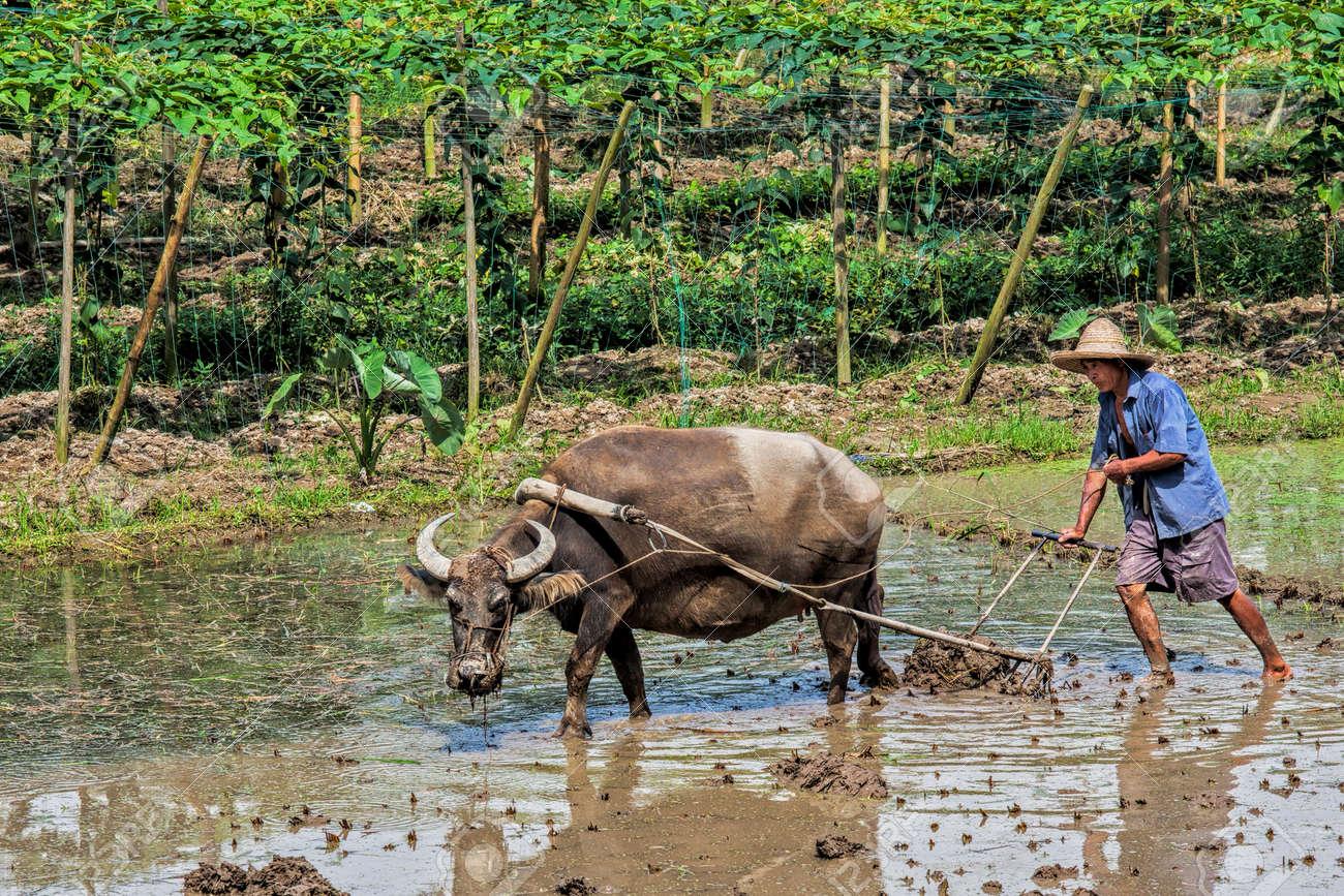 Enmarcador Chino Tradicional Usando Un Buey Para Arar Un Campo Para ...