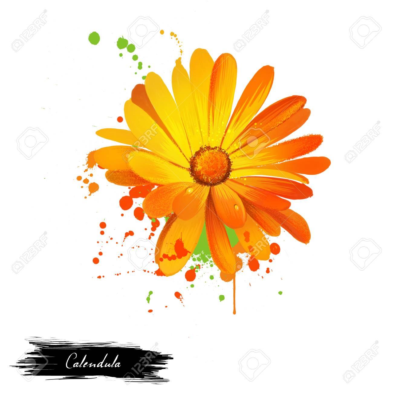 calendula illustration daisy family asteraceae marigolds genus