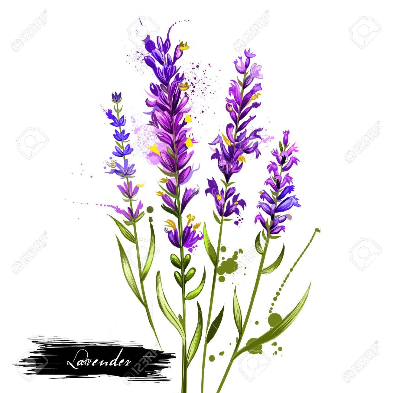 Lavande Isolee Lavandula Ou Lavande Plante A Fleurs De La Famille