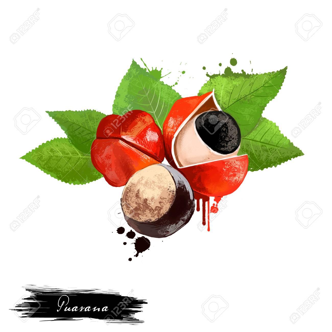 Fruit De Guarana Isolé Sur Fond Blanc Paullinia Cupana Plante Grimpante De La Famille De L érable Sapindaceae Fruit Coloré Savoureux Dessin Coloré