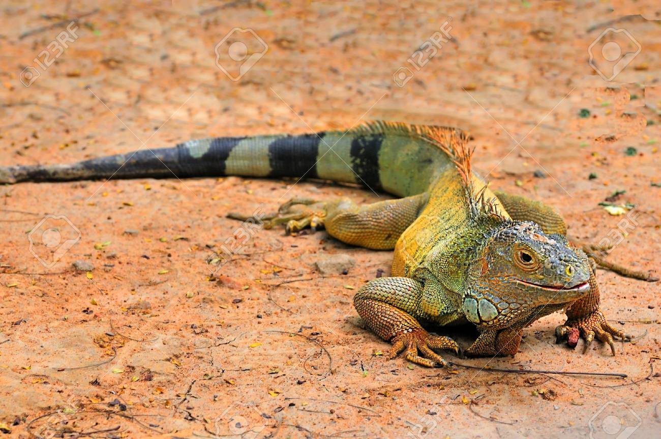 Headshot of a beautiful iguana at a local zoo Stock Photo - 3951075