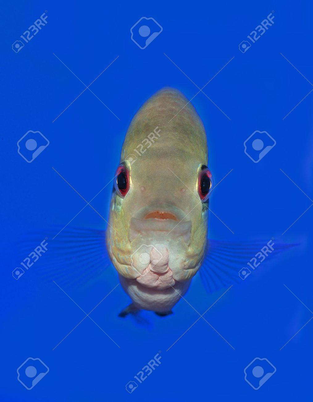 A big fish looking straight into the camera Stock Photo - 6231611