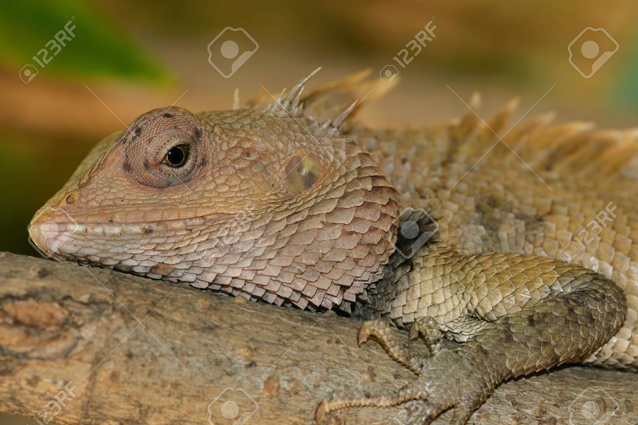 A Garden Lizard Taking A Sun Bath Stock Photo, Picture And Royalty ...