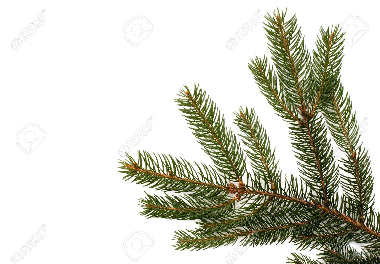 Branche De Sapin Sur Un Fond Blanc Close Up Décoration De Noël