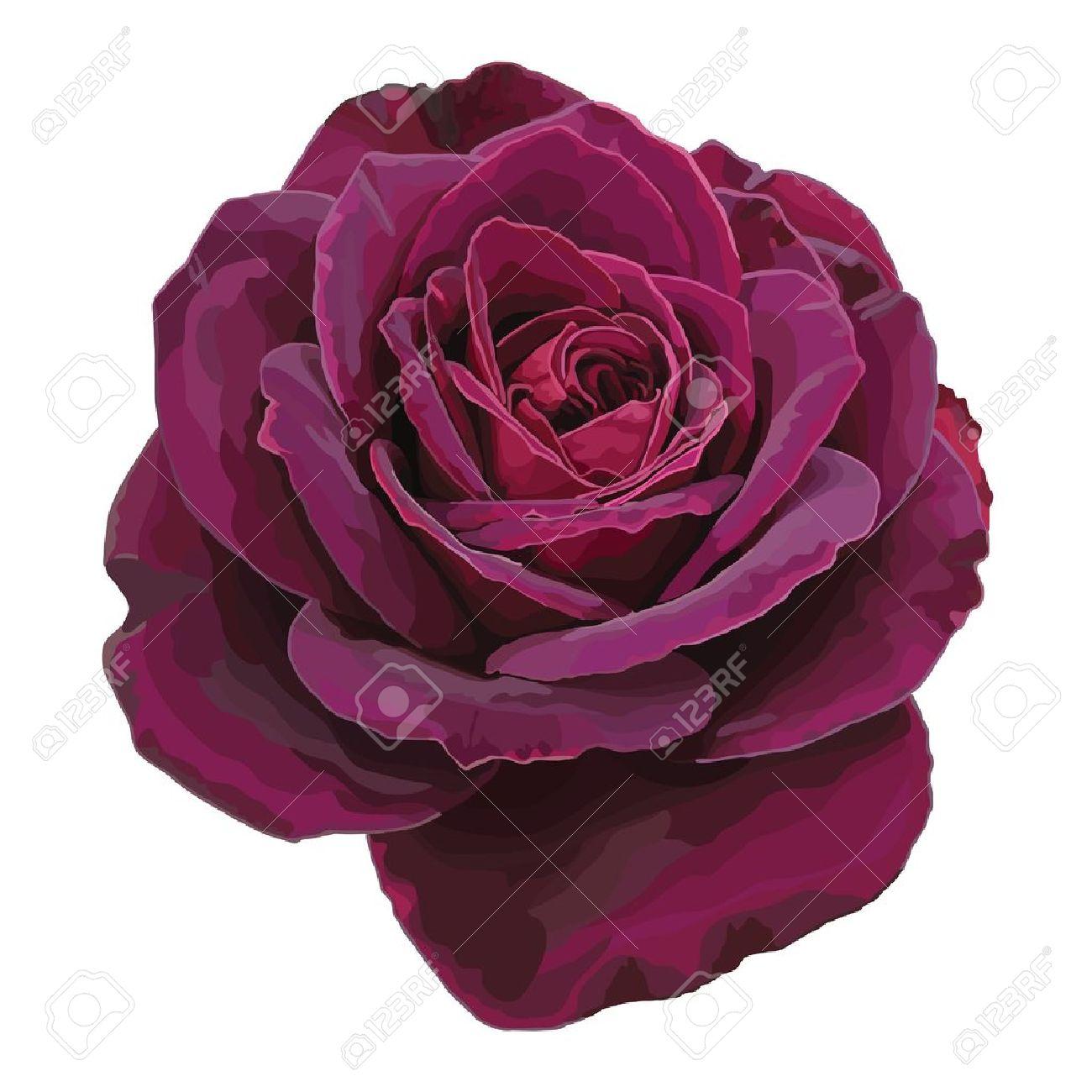 Purple rose isolated o...