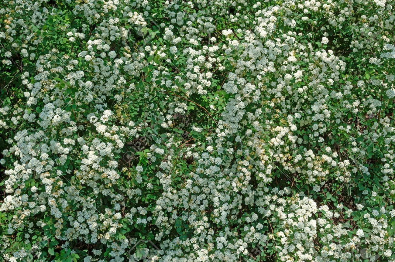 Spiraea Alpine Spring Flower White Flowering Shrubeen Bushes