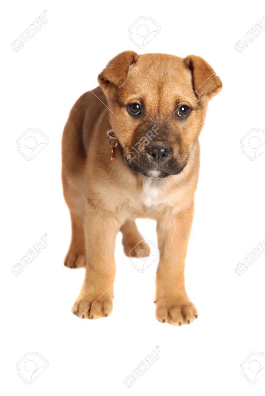 A boxer mastiff puppy on white