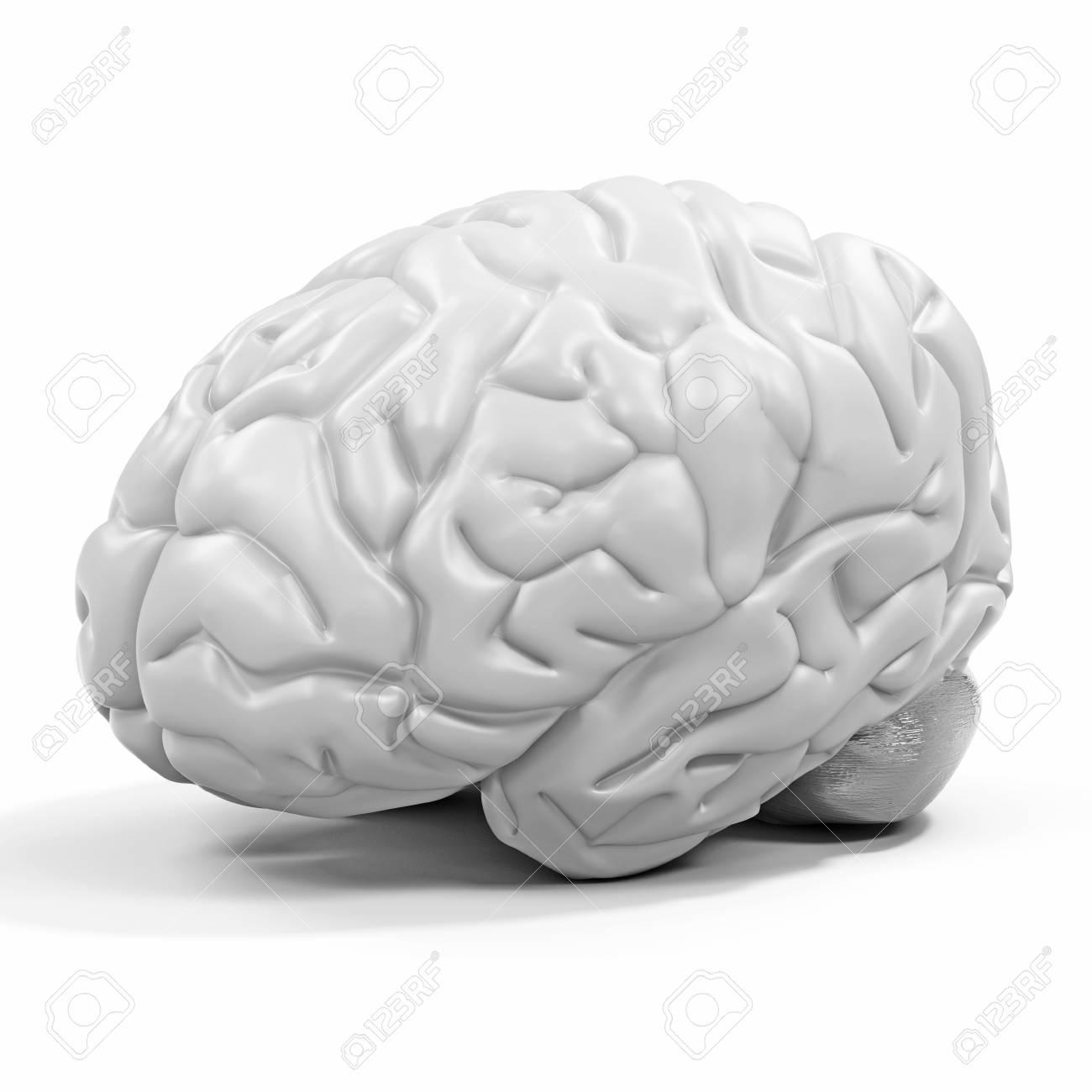 3d Detaillierte Gehirn Auf Weißem Hintergrund Lizenzfreie Fotos ...