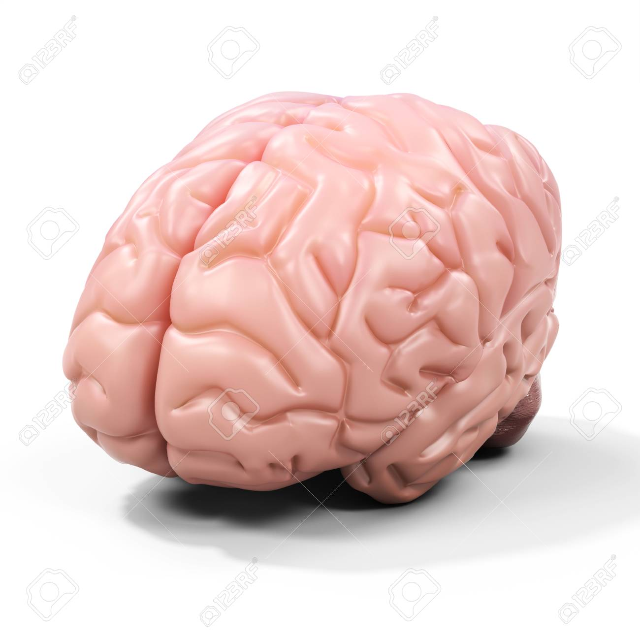 3d Detailed Brain On White Background Stock Photo Picture And