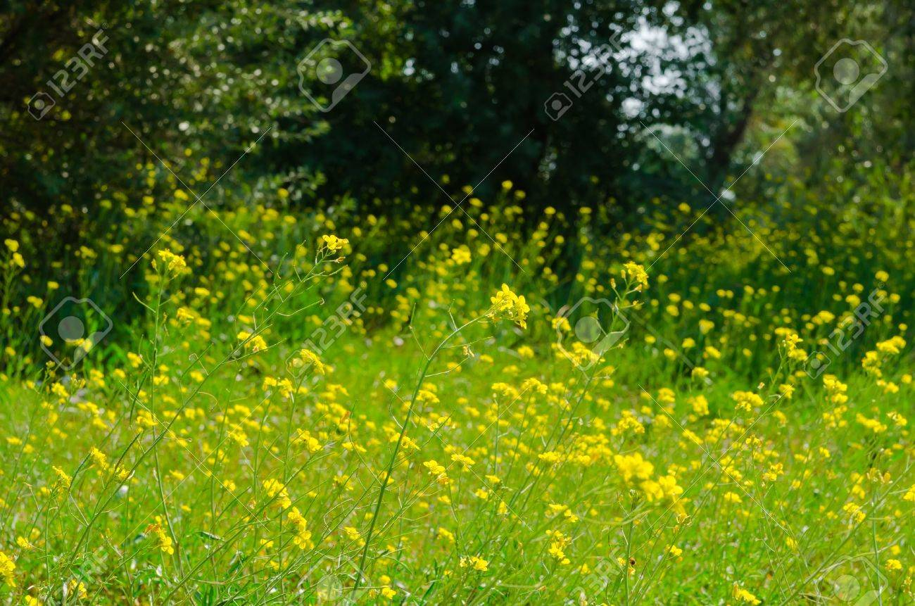 Meadow of yellow flowers with gossamer beauty nature background meadow of yellow flowers with gossamer beauty nature background stock photo 18925689 izmirmasajfo