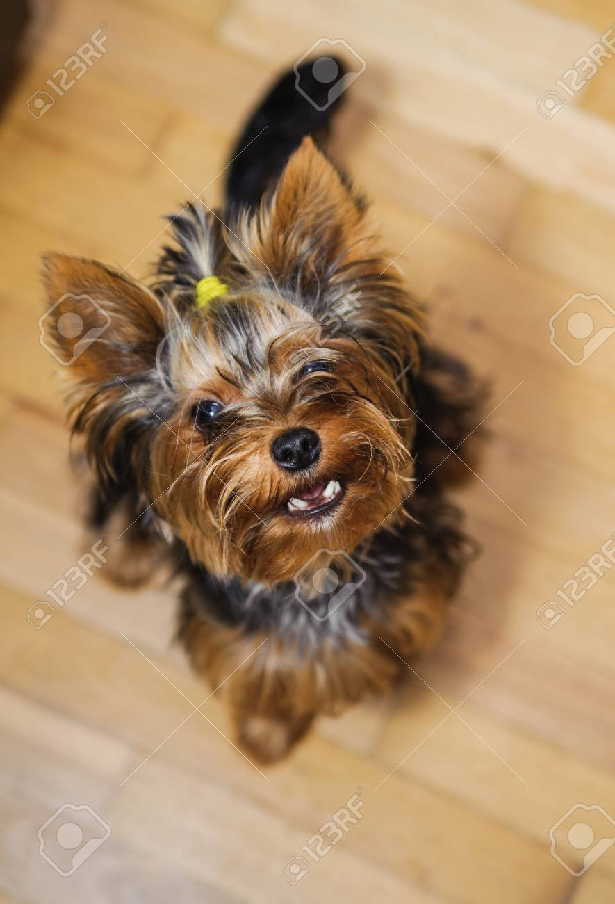 Small Yorkshire Terrier Haircut Pet Stock Photo Picture And Royalty