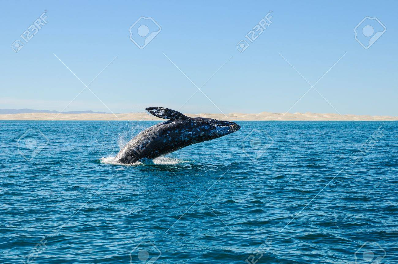 breaching gray whale in guerrero negro, Mexico Stock Photo - 14509160