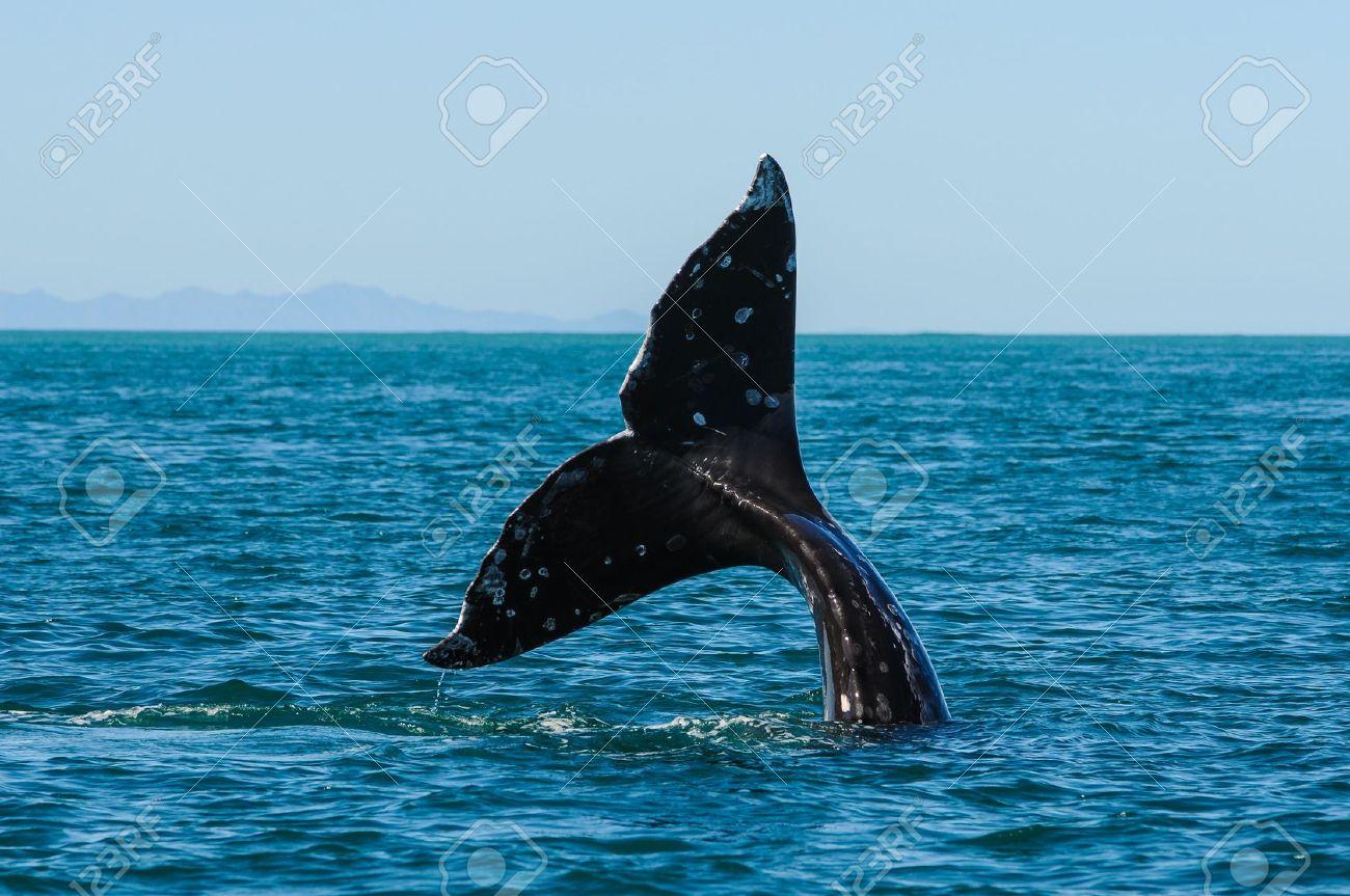 Gray whales  Eschrichtius robustus  in the Guerrero Negro bay, Mexico Stock Photo - 14509613