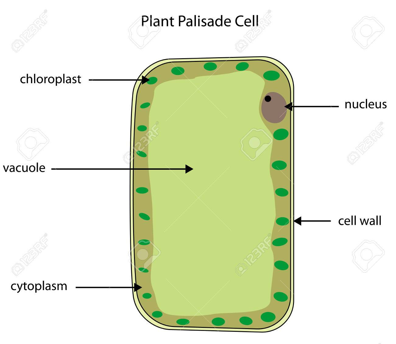 Cell photosynthesis diagram trusted wiring diagram labelled diagram of a plant palisade cell where photosynthesis rh 123rf com plant cell diagram simple plant cell diagram ccuart Choice Image