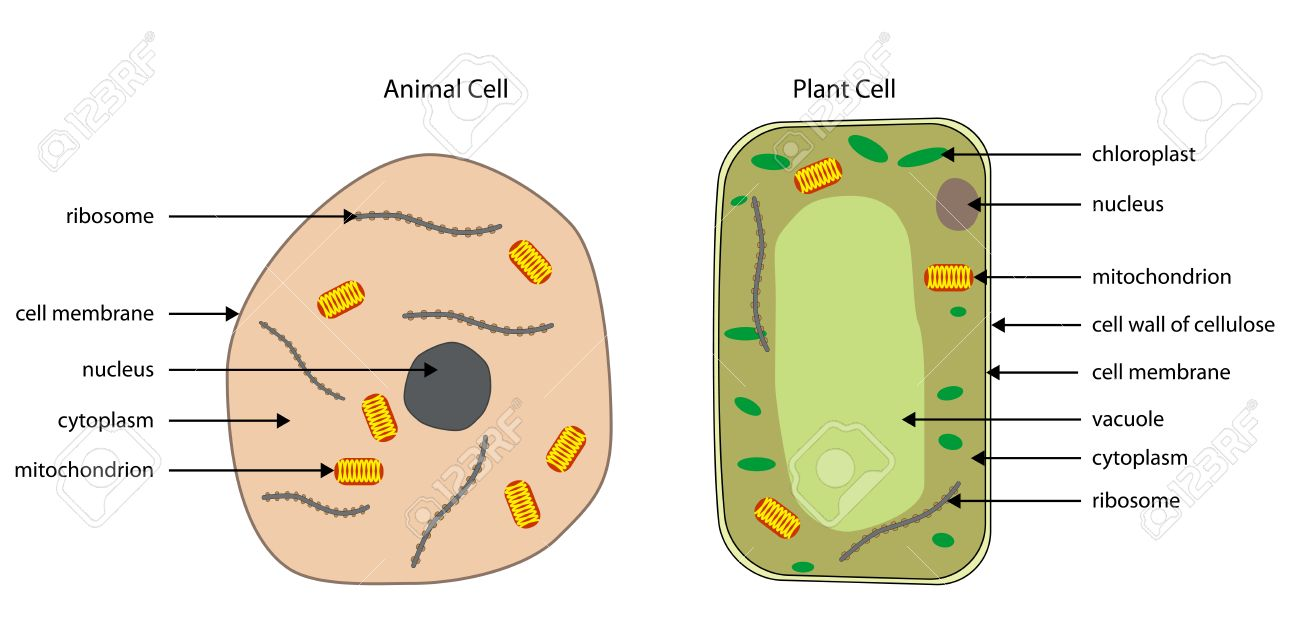 Super Labelled Diagrams Of Typical Animal And Plant Cells With Editable Wiring 101 Orsalhahutechinfo