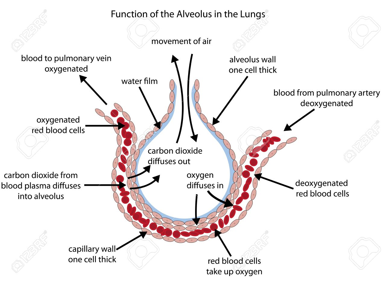 Fully labelled diagram of the alveolus in the lungs showing gaseous exchange. - 51447034