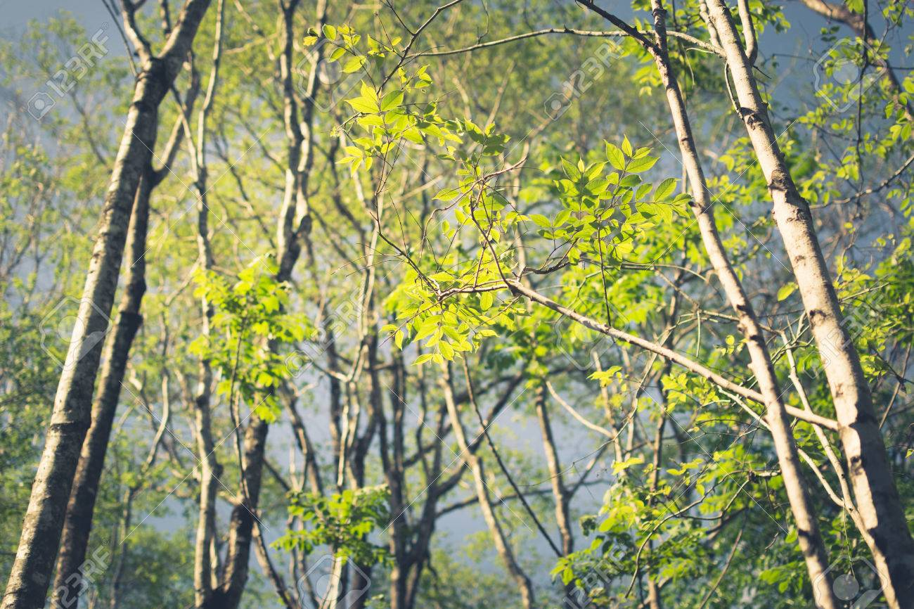 Tree Branch Budding Leaves In Deciduous Forest, Vintage Color ...