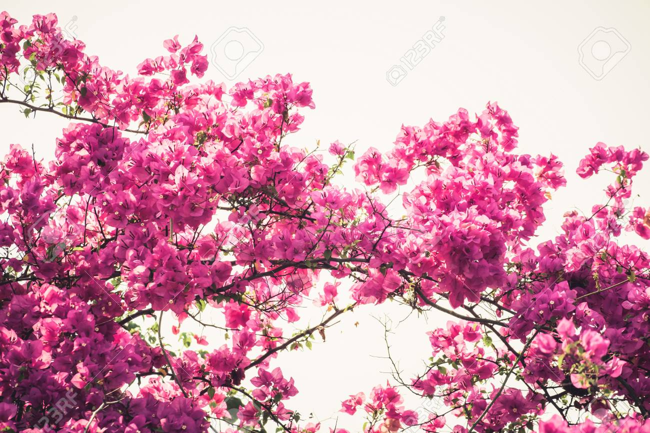 Bougainvilleas Or Paper Flower Blooming On The Tree Vintage Stock
