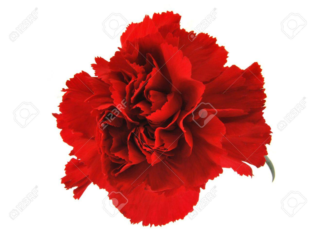 Red Carnation Flower Isolated On White Stock Photo Picture And