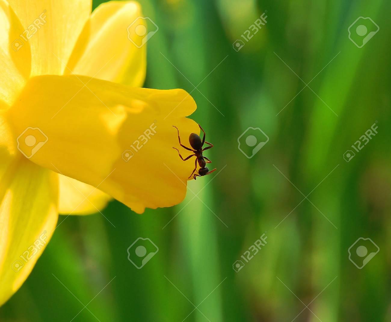 ant on yellow petal - 4666859