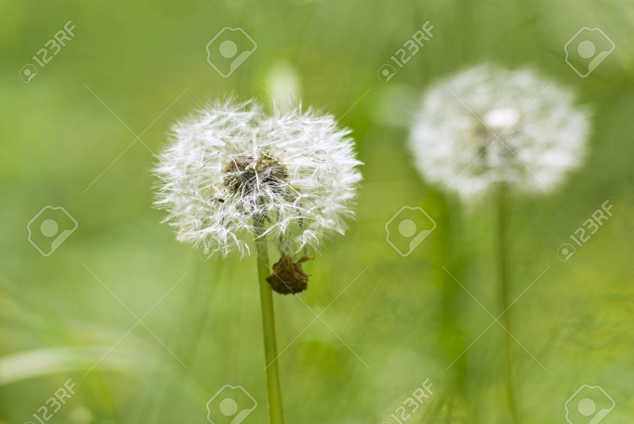 White dandelion on a green background Stock Photo - 5000099