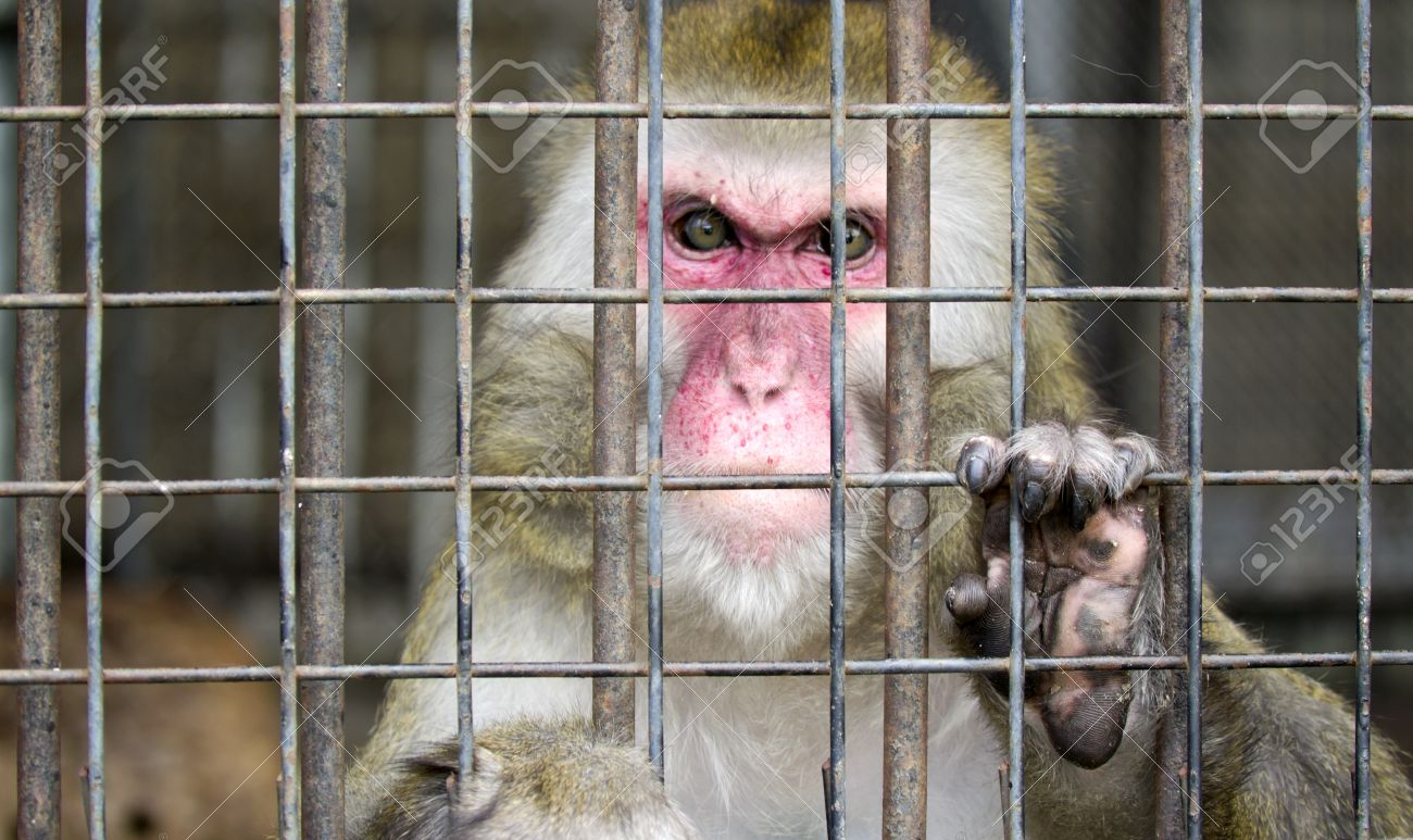 monkey in a cage with sad eyes Stock Photo - 11843766