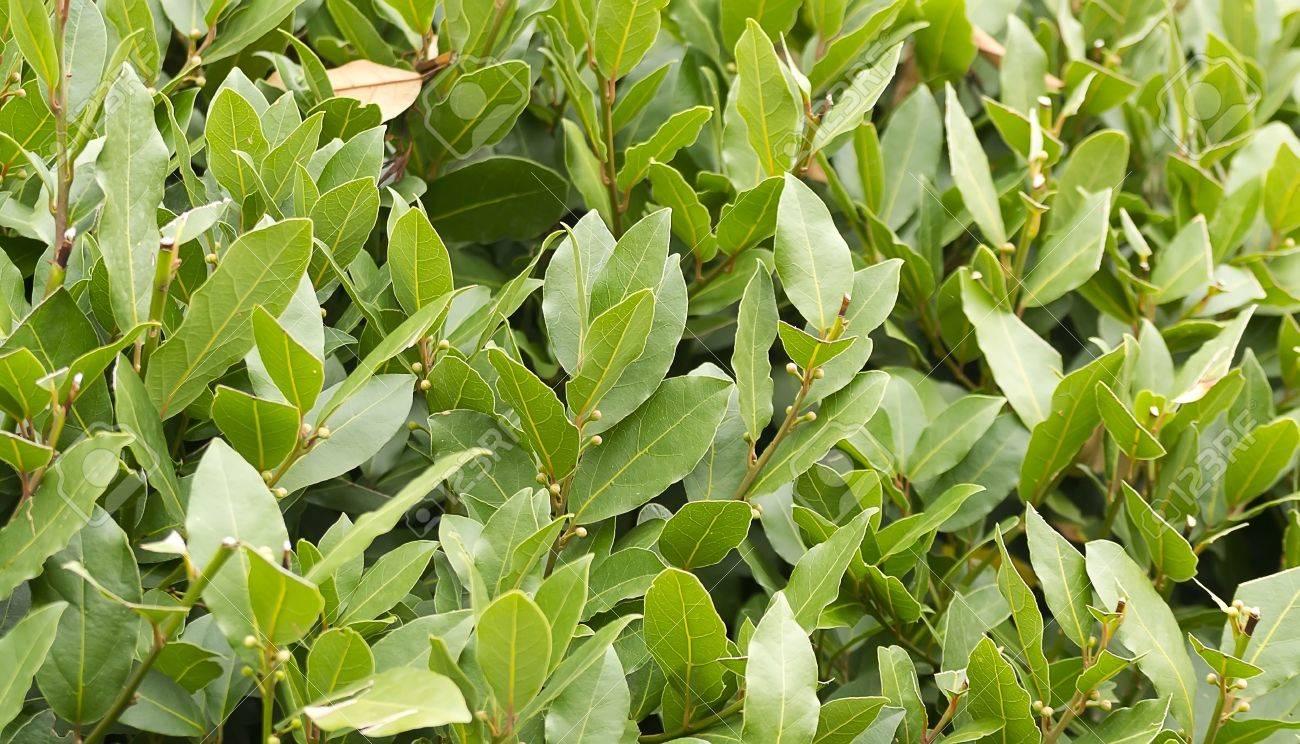 Laurel bush hedge growing in a spring garden - 24691906