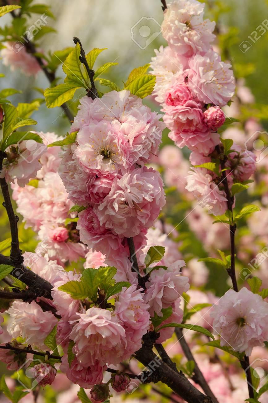 Flowers of Japanese cherry in the garden - 81995880