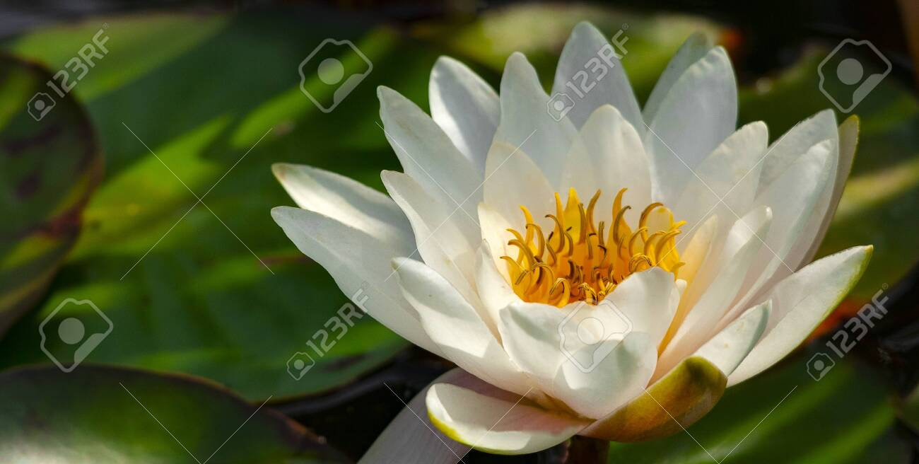 Flower of a lake lily on the background of a pond. - 131373538