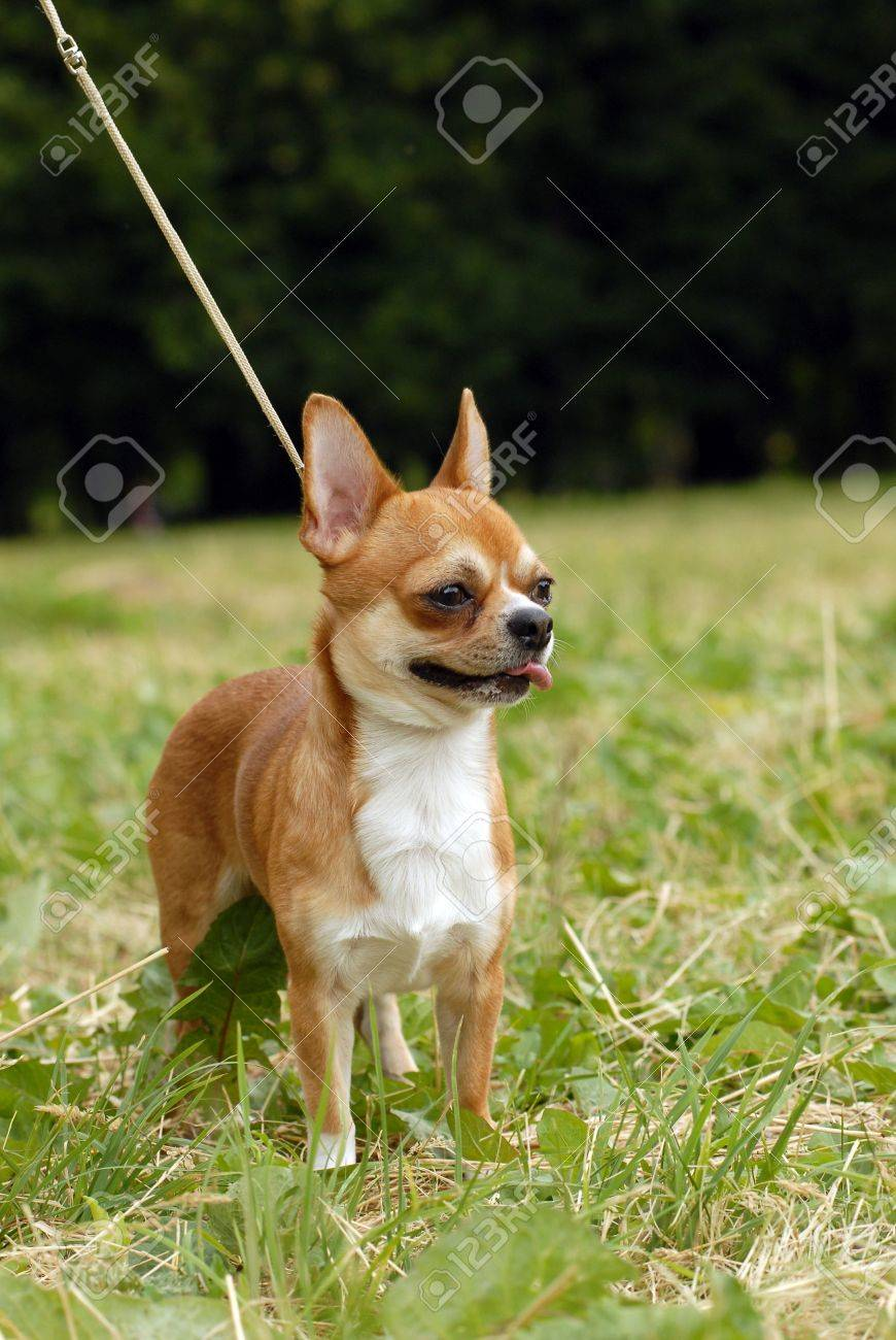 Adult long haired chihuahua