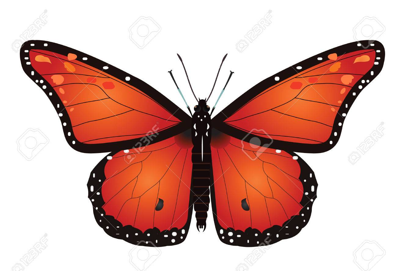 vector  illustration of a monarch butterfly isolated on white Stock Vector - 4244126
