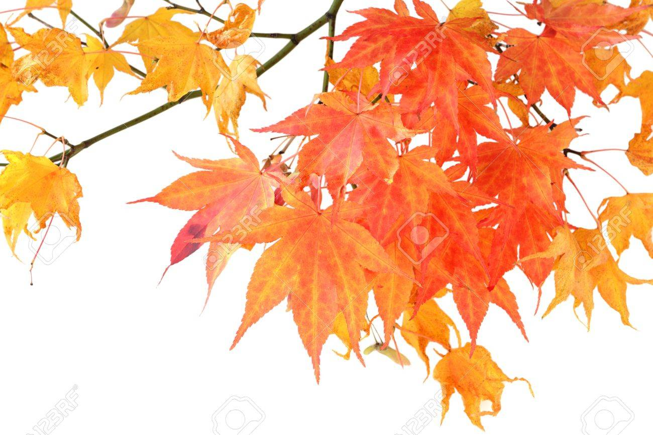 autumn red maple branch isolated on white Stock Photo - 4247787