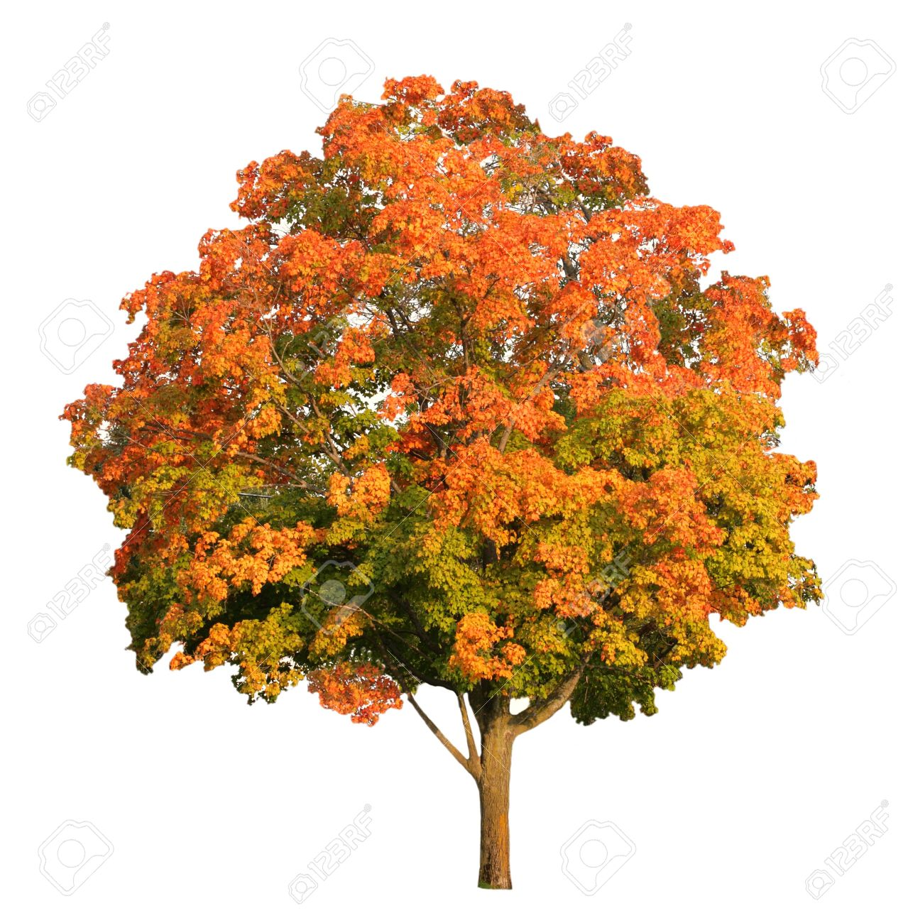 Sugar Maple Tree In The Fall Isolated On White Stock Photo Picture