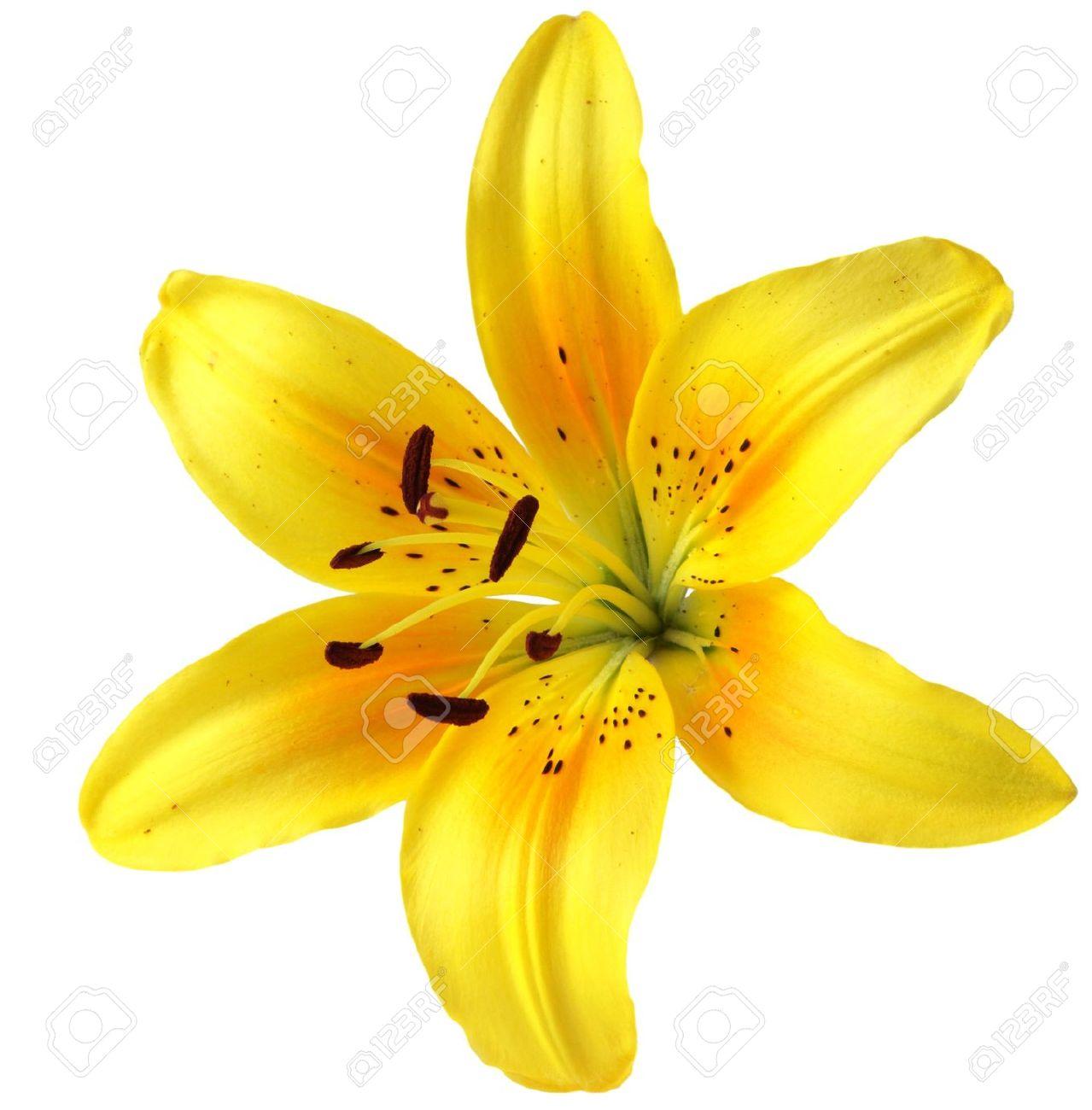 Yellow Lily Flower Savingourboysfo