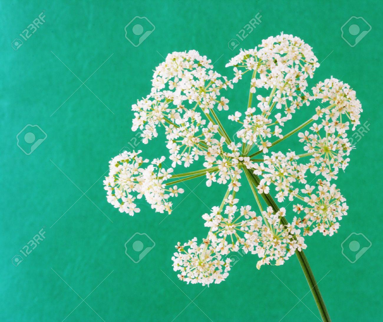 Aegopodium Podagraria Bishop\'s Weed Goutweed Flower Isolated.. Stock ...